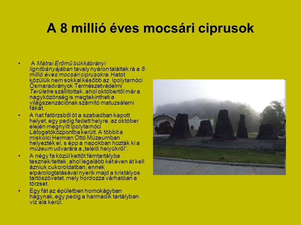 A 8 millió éves mocsári ciprusok • A Mátrai Erőmű bükkábrányi lignitbányájában tavaly nyáron találtak rá a 8 millió éves mocsári ciprusokra.
