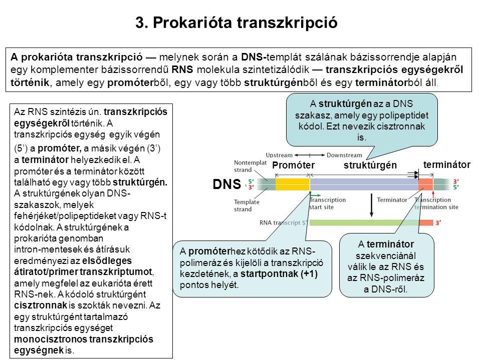 3. Prokarióta transzkripció Az RNS szintézis ún. transzkripciós egységekről történik. A transzkripciós egység egyik végén (5') a promóter, a másik vég