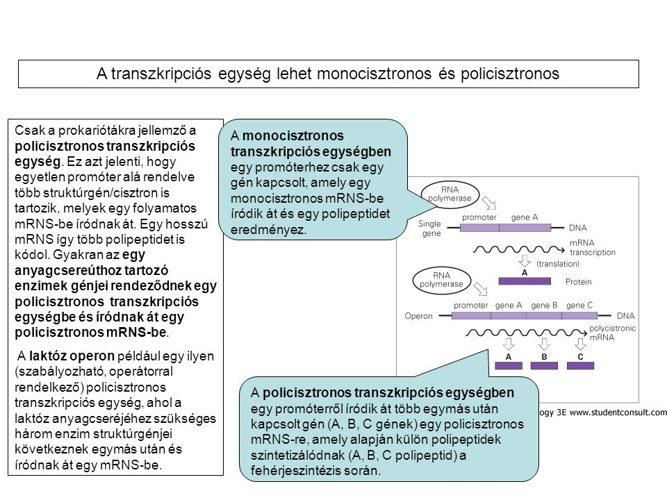 Csak a prokariótákra jellemző a policisztronos transzkripciós egység. Ez azt jelenti, hogy egyetlen promóter alá rendelve több struktúrgén/cisztron is
