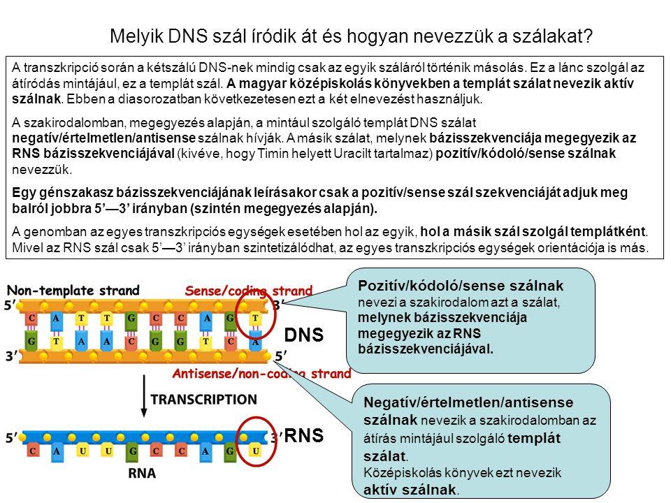 Melyik DNS szál íródik át és hogyan nevezzük a szálakat? A transzkripció során a kétszálú DNS-nek mindig csak az egyik száláról történik másolás. Ez a