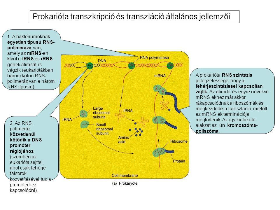 1. A baktériumoknak egyetlen típusú RNS- polimeráza van, amely az mRNS-en kívül a tRNS és rRNS gének átírását is végzik (eukariótákban három külön RNS