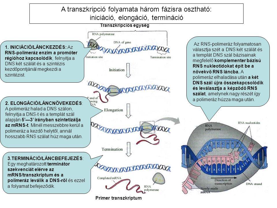 1. INICIÁCIÓ/LÁNCKEZDÉS: Az RNS-polimeráz enzim a promóter régióhoz kapcsolódik, felnyitja a DNS két szálát és a szintézis kezdőpontjánál megkezdi a s