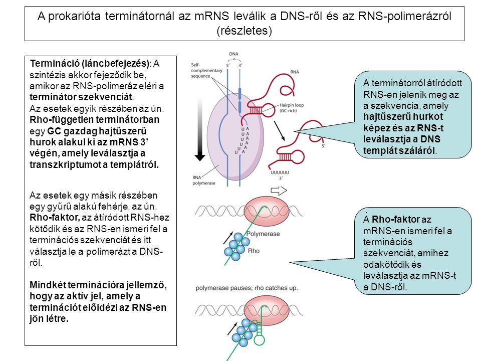Termináció (láncbefejezés): A szintézis akkor fejeződik be, amikor az RNS-polimeráz eléri a terminátor szekvenciát. Az esetek egyik részében az ún. Rh