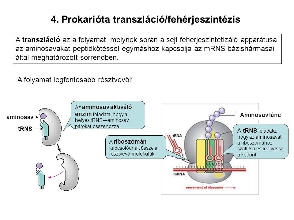 4. Prokarióta transzláció/fehérjeszintézis aminosav tRNS Az aminosav aktiváló enzim feladata, hogy a helyes tRNS—aminosav párokat összehozza. A tRNS f