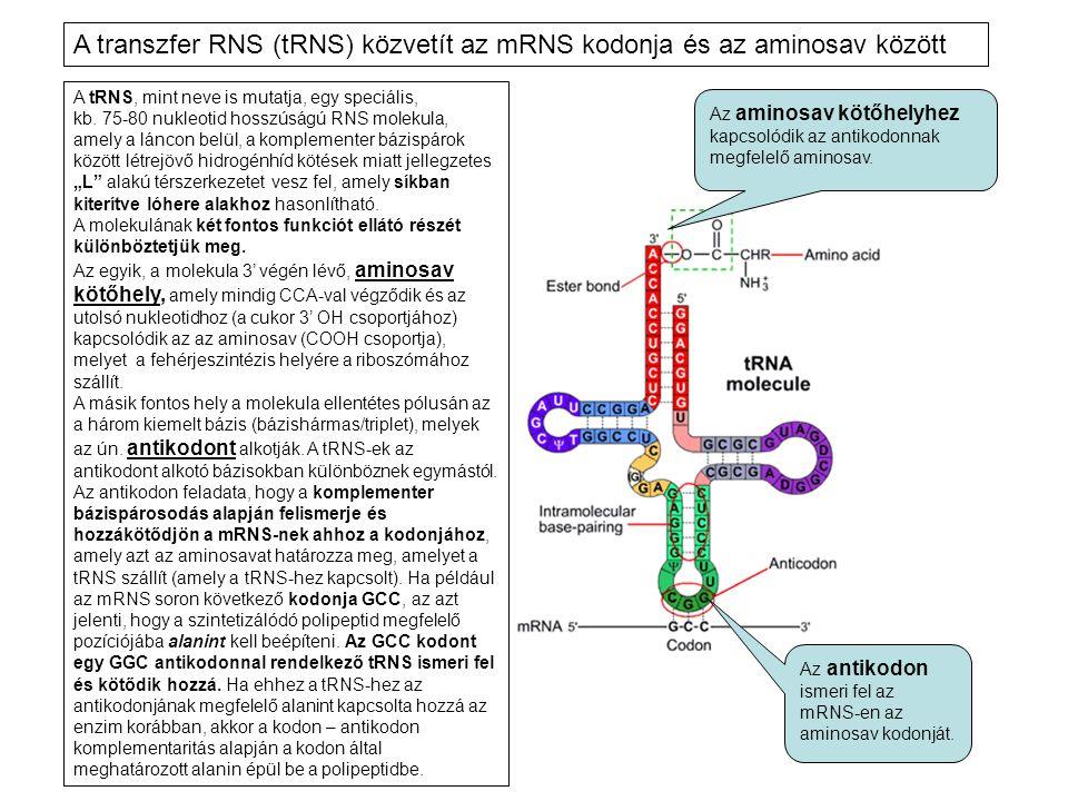 A tRNS, mint neve is mutatja, egy speciális, kb. 75-80 nukleotid hosszúságú RNS molekula, amely a láncon belül, a komplementer bázispárok között létre