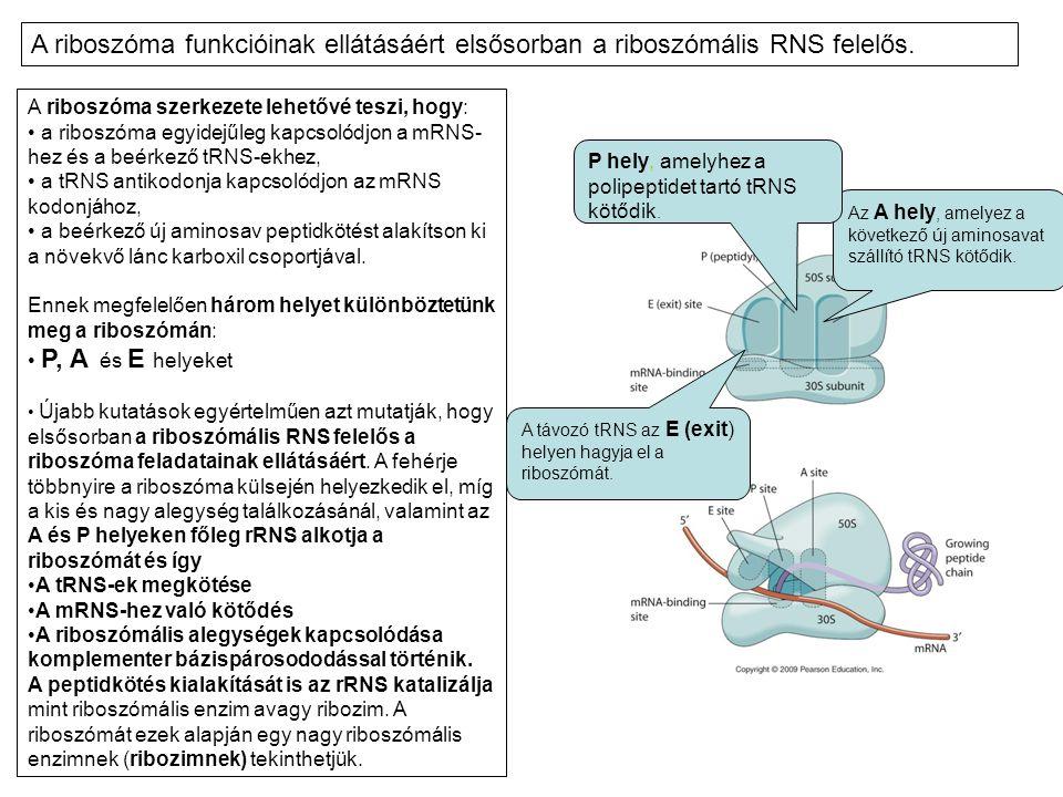 A riboszóma szerkezete lehetővé teszi, hogy: • a riboszóma egyidejűleg kapcsolódjon a mRNS- hez és a beérkező tRNS-ekhez, • a tRNS antikodonja kapcsol