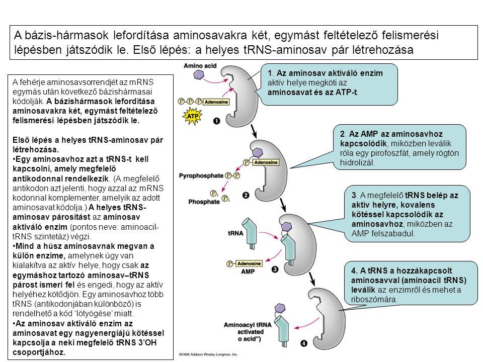 1. Az aminosav aktiváló enzim aktív helye megköti az aminosavat és az ATP-t. 2. Az AMP az aminosavhoz kapcsolódik, miközben leválik róla egy pirofoszf