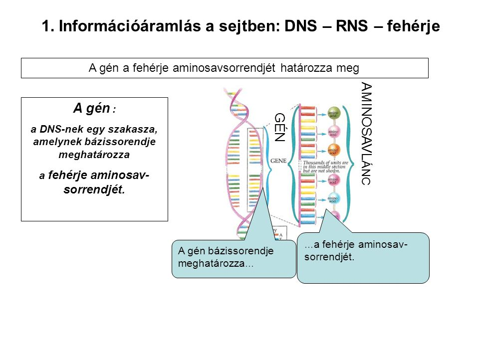 1. Információáramlás a sejtben: DNS – RNS – fehérje A gén : a DNS-nek egy szakasza, amelynek bázissorendje meghatározza a fehérje aminosav- sorrendjét