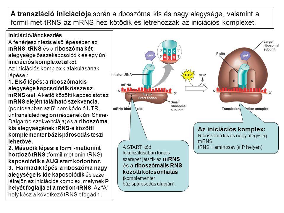 Iniciáció/lánckezdés A fehérjeszintézis első lépésében az mRNS, tRNS és a riboszóma két alegysége összekapcsolódik és egy ún. iniciációs komplexet alk