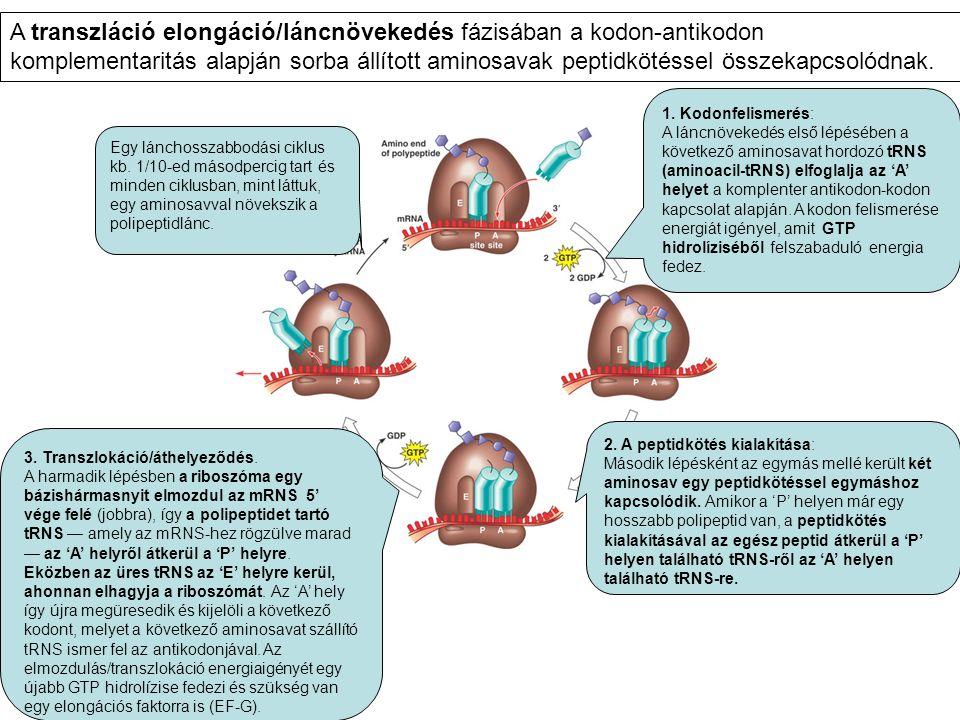 1. Kodonfelismerés: A láncnövekedés első lépésében a következő aminosavat hordozó tRNS (aminoacil-tRNS) elfoglalja az 'A' helyet a komplenter antikodo