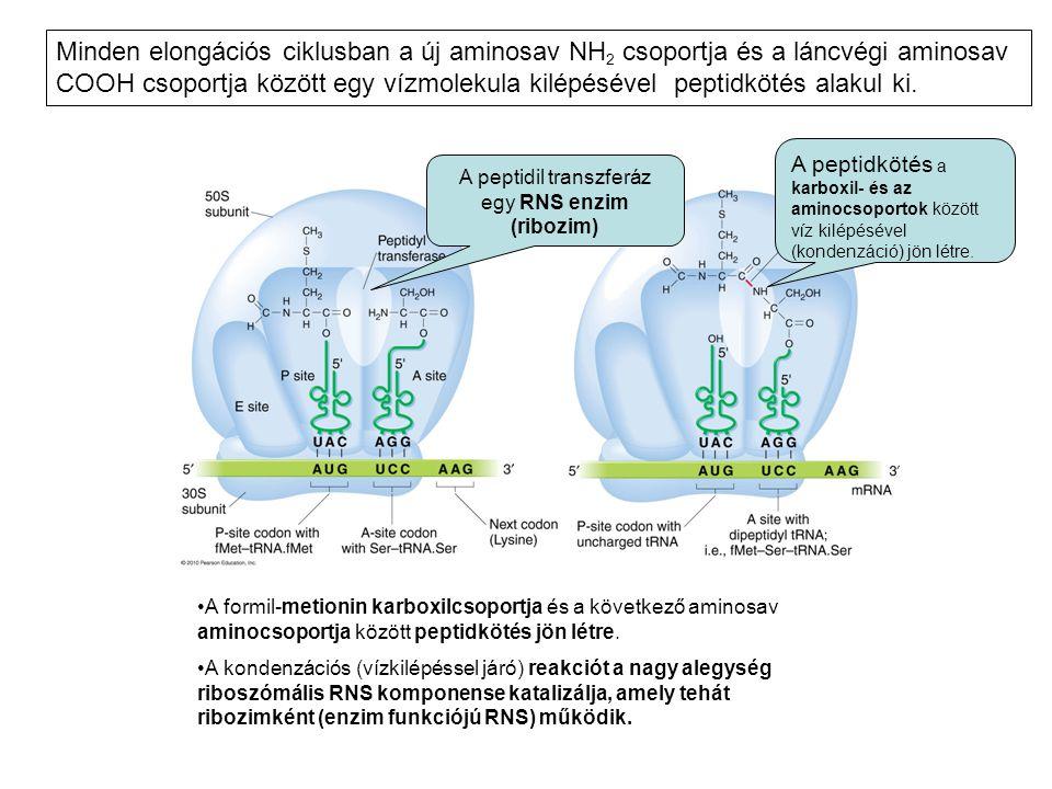 •A formil-metionin karboxilcsoportja és a következő aminosav aminocsoportja között peptidkötés jön létre. •A kondenzációs (vízkilépéssel járó) reakció