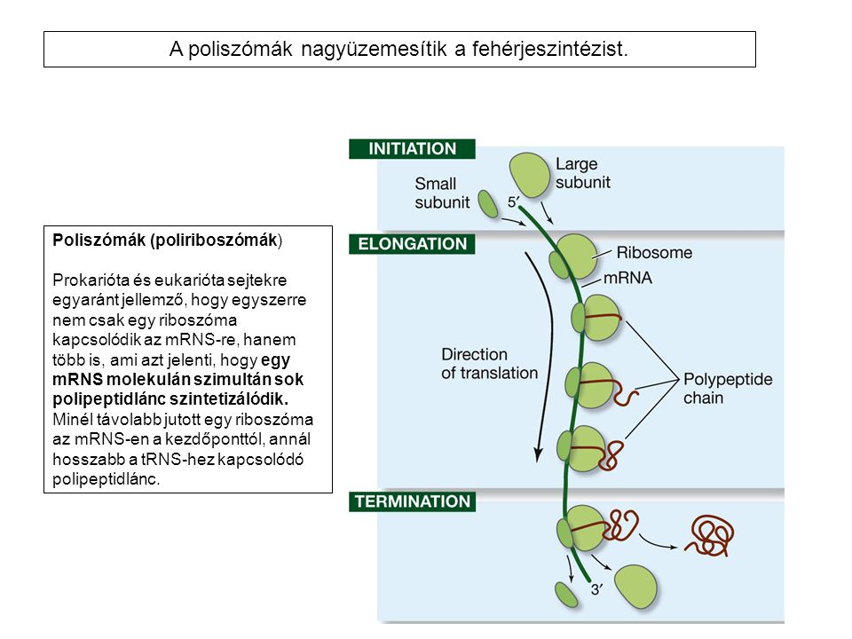 Poliszómák (poliriboszómák) Prokarióta és eukarióta sejtekre egyaránt jellemző, hogy egyszerre nem csak egy riboszóma kapcsolódik az mRNS-re, hanem tö