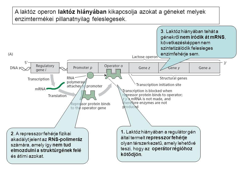 A laktóz operon laktóz hiányában kikapcsolja azokat a géneket melyek enzimtermékei pillanatnyilag feleslegesek. 1. Laktóz hiányában a regulátor gén ál