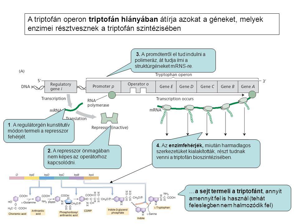 A triptofán operon triptofán hiányában átírja azokat a géneket, melyek enzimei résztvesznek a triptofán szintézisében 1. A regulátorgén kunstitutív mó
