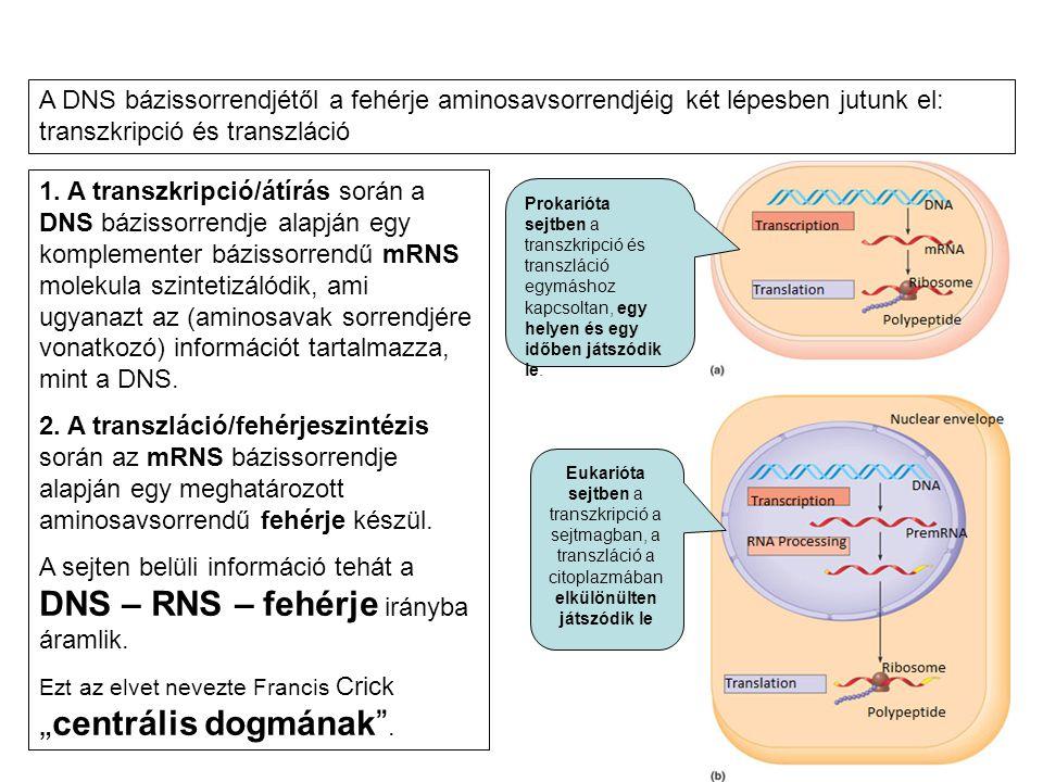 1. A transzkripció/átírás során a DNS bázissorrendje alapján egy komplementer bázissorrendű mRNS molekula szintetizálódik, ami ugyanazt az (aminosavak