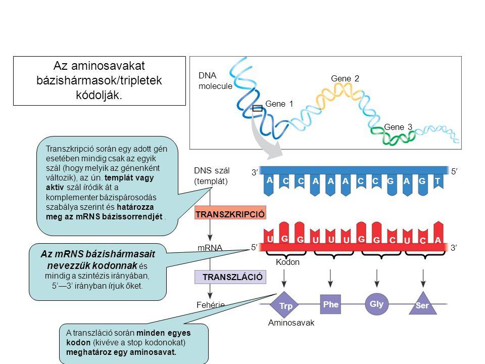 DNA molecule Gene 1 Gene 2 Gene 3 DNS szál (templát) TRANSZKRIPCIÓ mRNA Fehérje TRANSZLÁCIÓ Aminosavak A CCAAACCGAGT U G G U U U G GC UC A Trp Phe Gly