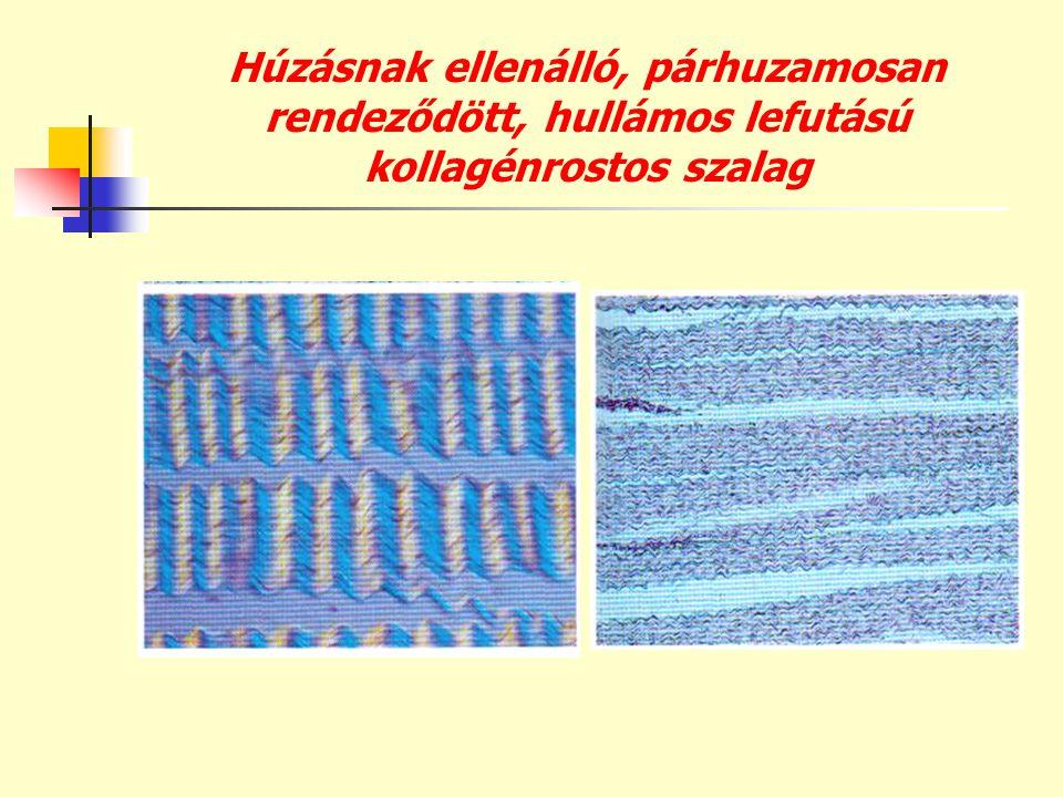 Húzásnak ellenálló, párhuzamosan rendeződött, hullámos lefutású kollagénrostos szalag