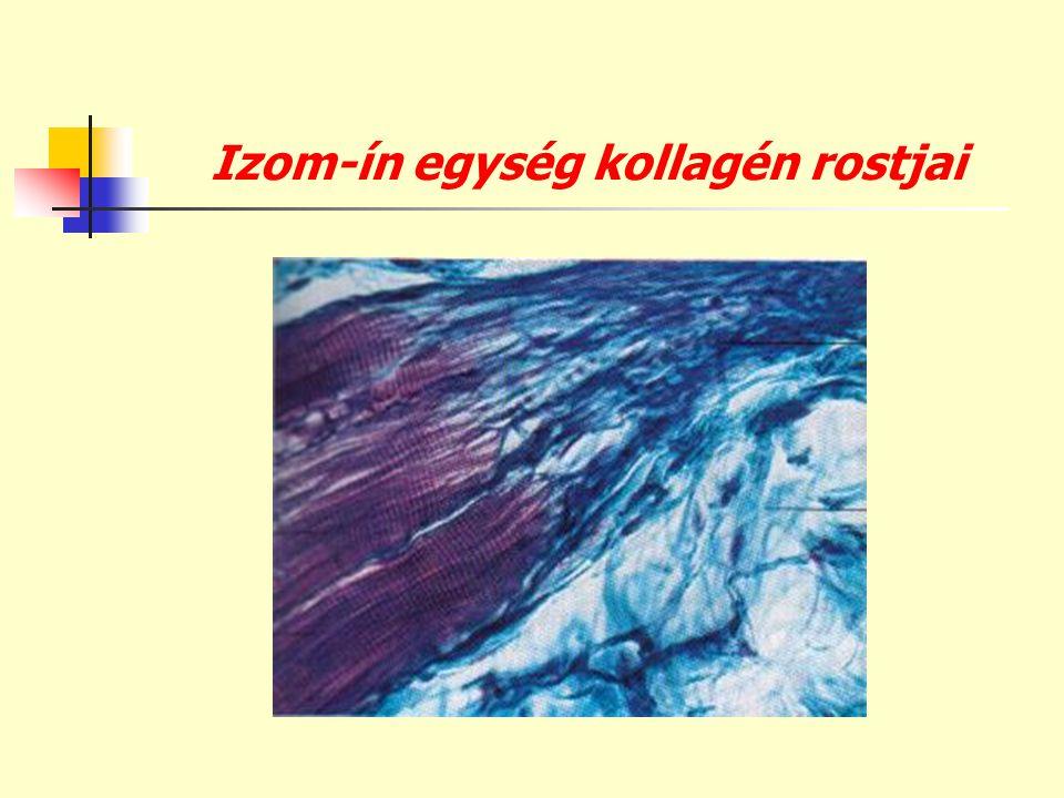 Izom-ín egység kollagén rostjai