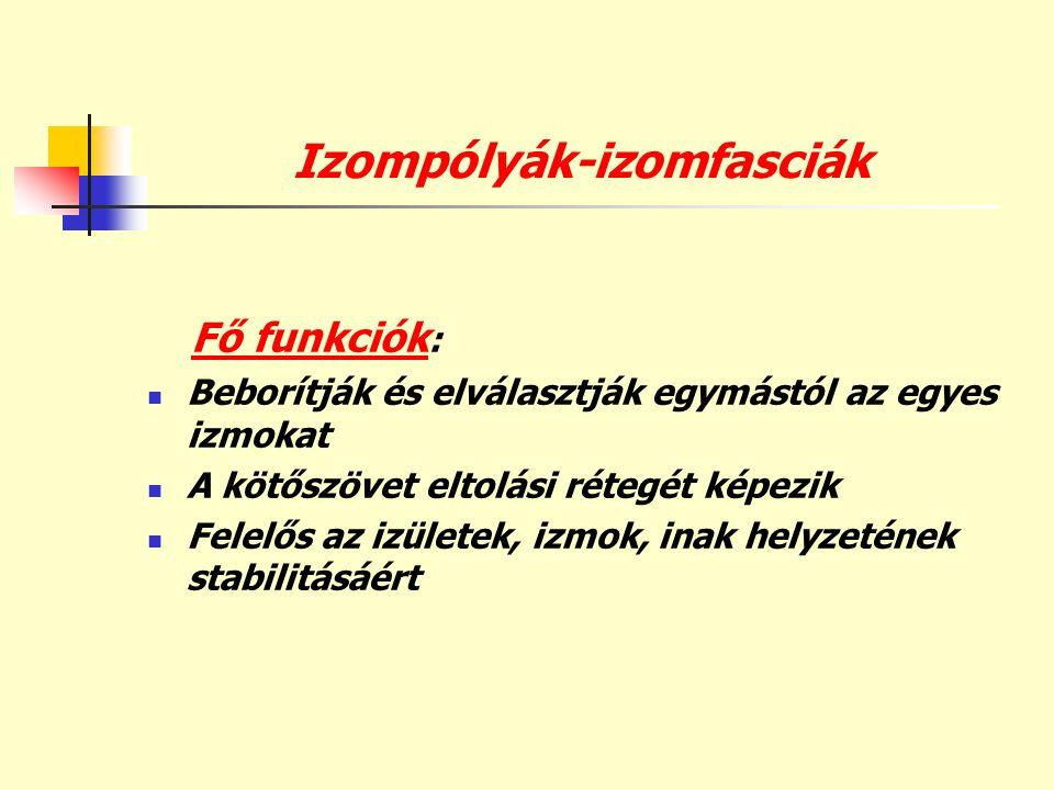 Izompólyák-izomfasciák Fő funkciók :  Beborítják és elválasztják egymástól az egyes izmokat  A kötőszövet eltolási rétegét képezik  Felelős az izül