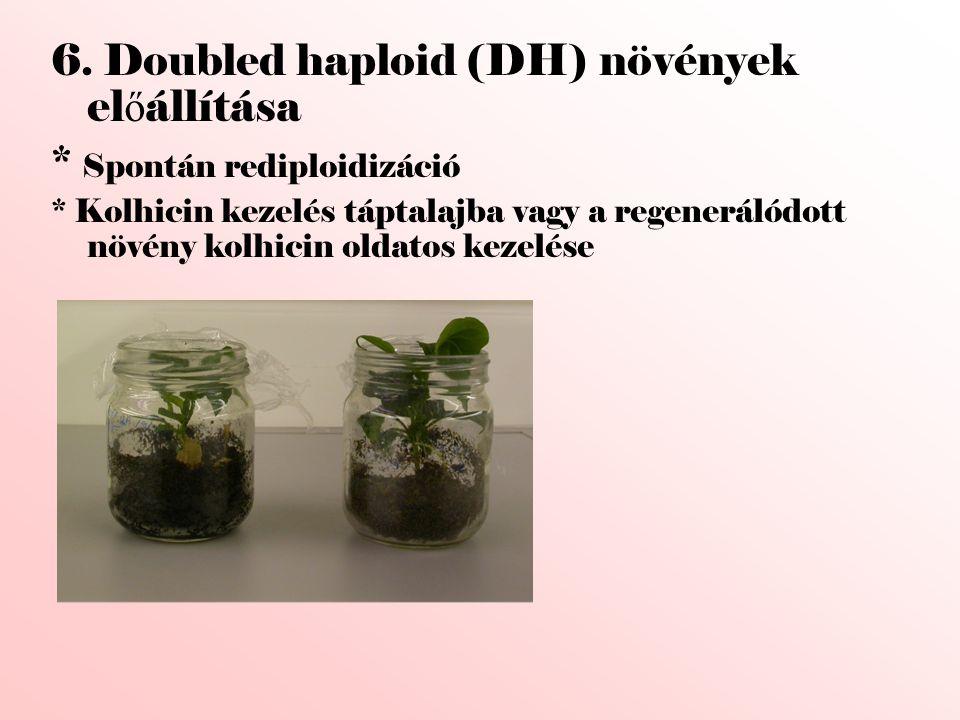 6. Doubled haploid (DH) növények el ő állítása * Spontán rediploidizáció * Kolhicin kezelés táptalajba vagy a regenerálódott növény kolhicin oldatos k