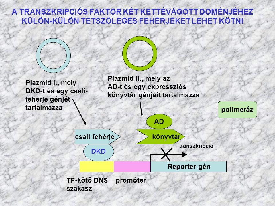 TF-kötő DNS promóter szakasz Reporter gén transzkripció DKD AD polimeráz Plazmid I., mely DKD-t és egy csali- fehérje génjét tartalmazza Plazmid II.,
