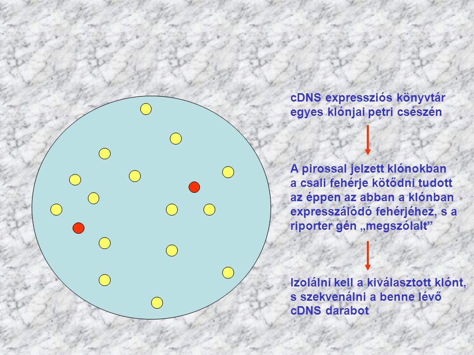 cDNS expressziós könyvtár egyes klónjai petri csészén A pirossal jelzett klónokban a csali fehérje kötődni tudott az éppen az abban a klónban expressz