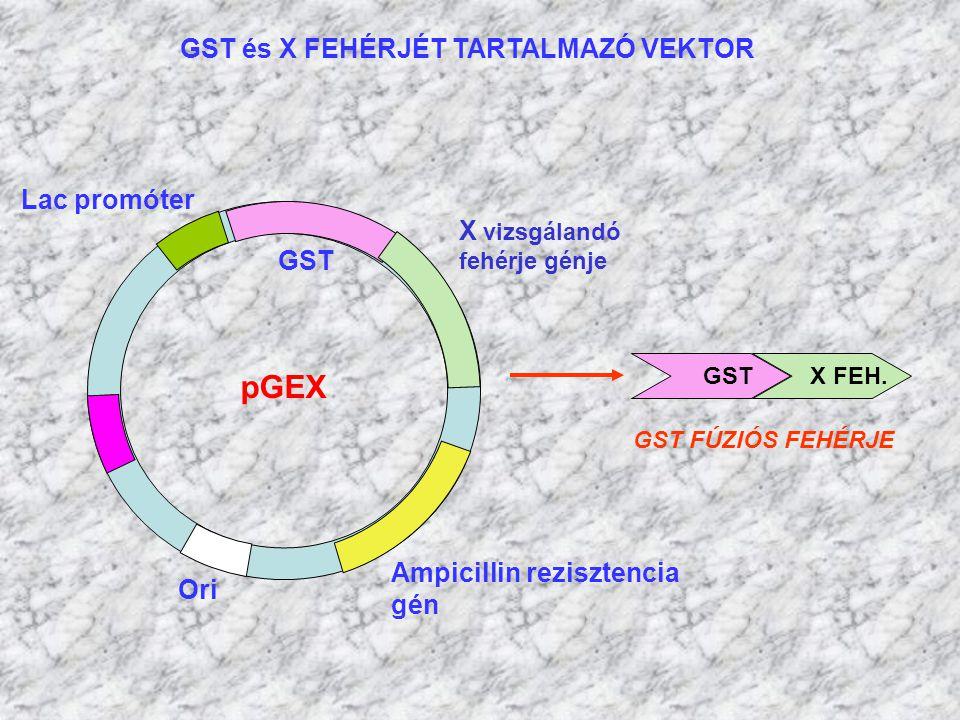 GST és X FEHÉRJÉT TARTALMAZÓ VEKTOR pGEX Ampicillin rezisztencia gén GST Ori Lac promóter X vizsgálandó fehérje génje GST X FEH. GST FÚZIÓS FEHÉRJE
