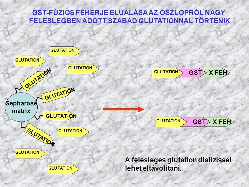 GST-FÚZIÓS FEHÉRJE ELUÁLÁSA AZ OSZLOPRÓL NAGY FELESLEGBEN ADOTT SZABAD GLUTATIONNAL TÖRTÉNIK Sepharose matrix GLUTATION GST X FEH. GLUTATION GST X FEH