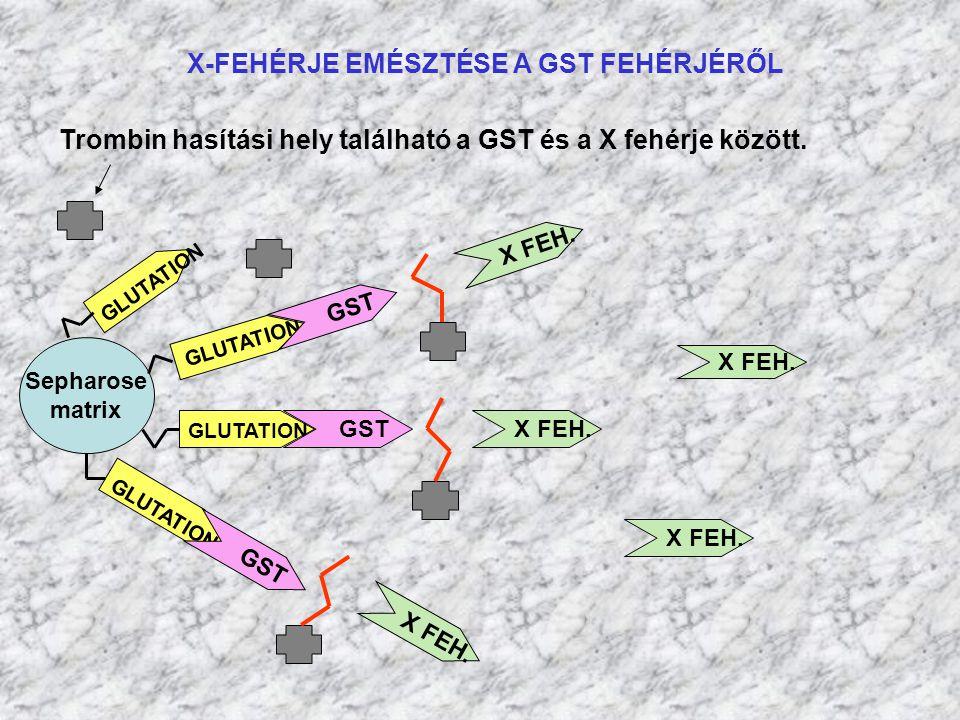 X-FEHÉRJE EMÉSZTÉSE A GST FEHÉRJÉRŐL Sepharose matrix GLUTATION GST X FEH. GST X FEH. Trombin hasítási hely található a GST és a X fehérje között. X F