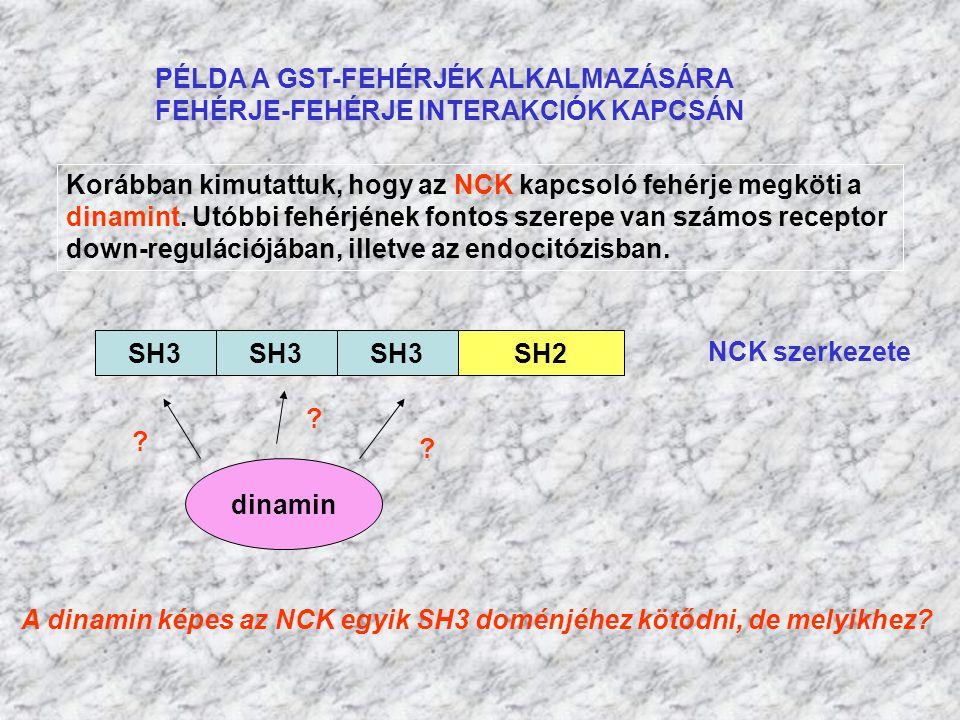 PÉLDA A GST-FEHÉRJÉK ALKALMAZÁSÁRA FEHÉRJE-FEHÉRJE INTERAKCIÓK KAPCSÁN Korábban kimutattuk, hogy az NCK kapcsoló fehérje megköti a dinamint. Utóbbi fe
