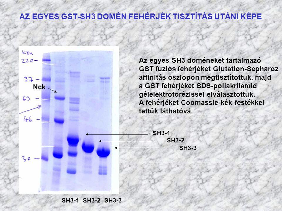 AZ EGYES GST-SH3 DOMÉN FEHÉRJÉK TISZTÍTÁS UTÁNI KÉPE SH3-1 SH3-2 SH3-3 Az egyes SH3 doméneket tartalmazó GST fúziós fehérjéket Glutation-Sepharoz affi