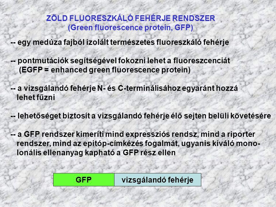 ZÖLD FLUORESZKÁLÓ FEHÉRJE RENDSZER (Green fluorescence protein, GFP) GFPvizsgálandó fehérje -- egy medúza fajból izolált természetes fluoreszkáló fehé