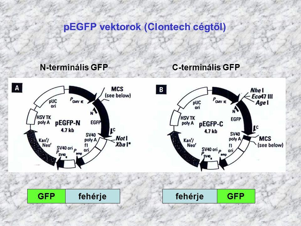 pEGFP vektorok (Clontech cégtől) GFPfehérjeGFPfehérje N-terminális GFP C-terminális GFP
