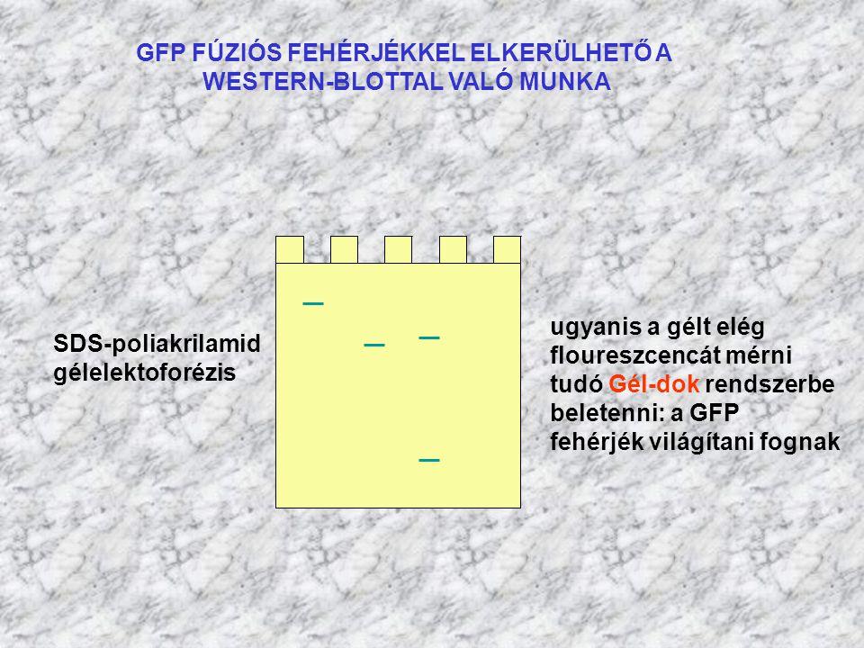 GFP FÚZIÓS FEHÉRJÉKKEL ELKERÜLHETŐ A WESTERN-BLOTTAL VALÓ MUNKA SDS-poliakrilamid gélelektoforézis ugyanis a gélt elég floureszcencát mérni tudó Gél-d