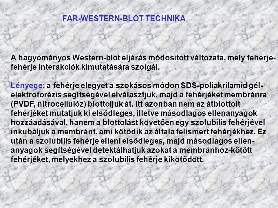 FAR-WESTERN-BLOT TECHNIKA A hagyományos Western-blot eljárás módosított változata, mely fehérje- fehérje interakciók kimutatására szolgál. Lényege: a