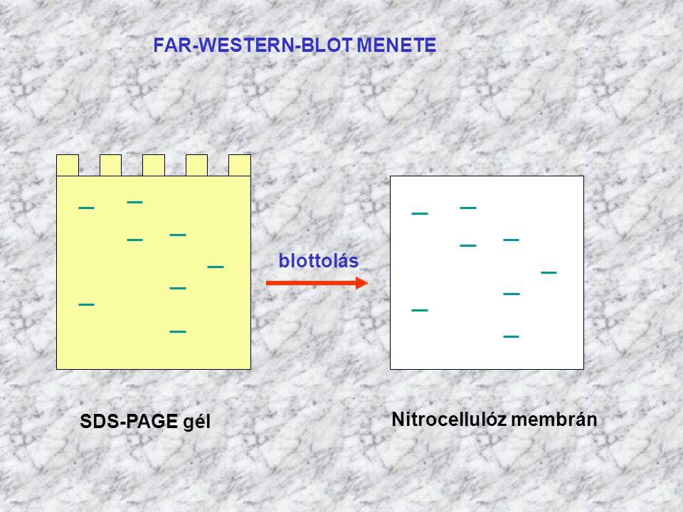 FAR-WESTERN-BLOT MENETE SDS-PAGE gél Nitrocellulóz membrán blottolás