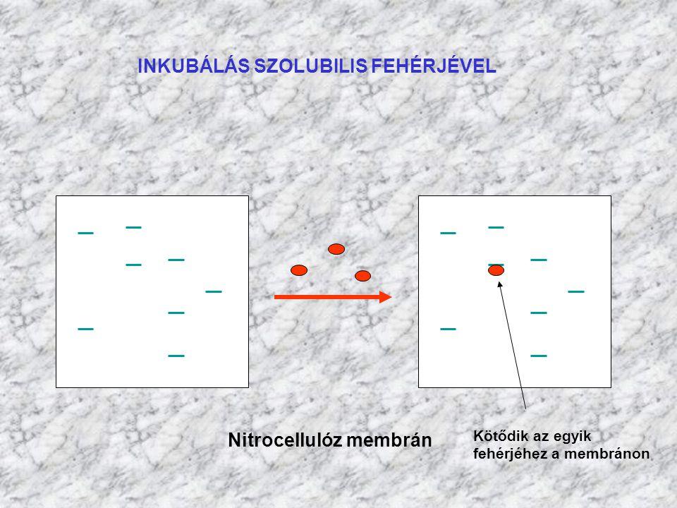 INKUBÁLÁS SZOLUBILIS FEHÉRJÉVEL Nitrocellulóz membrán Kötődik az egyik fehérjéhez a membránon