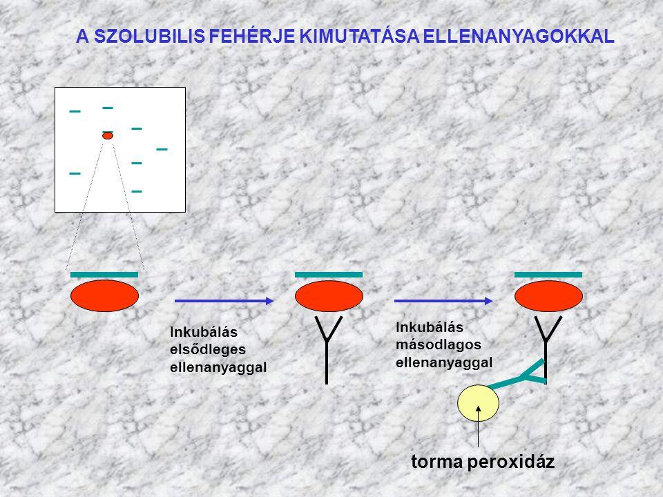 A SZOLUBILIS FEHÉRJE KIMUTATÁSA ELLENANYAGOKKAL Inkubálás elsődleges ellenanyaggal Inkubálás másodlagos ellenanyaggal torma peroxidáz