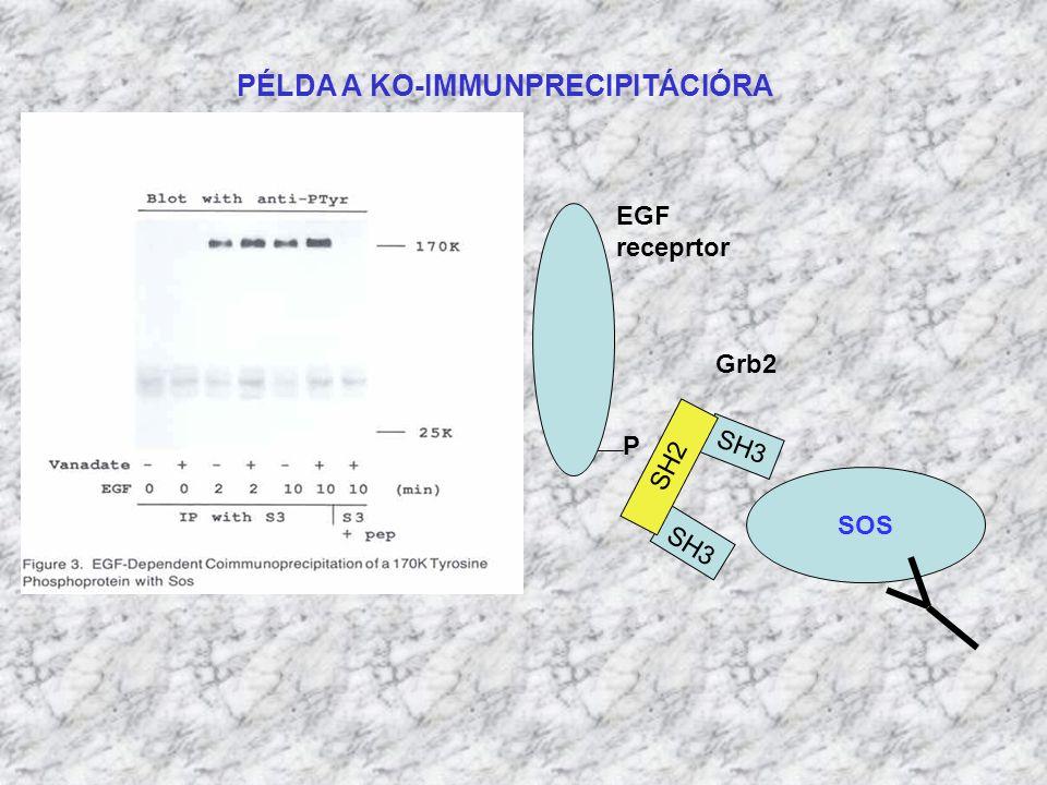 PÉLDA A KO-IMMUNPRECIPITÁCIÓRA SOS Grb2 SH3 EGF receprtor SH2 P SH3