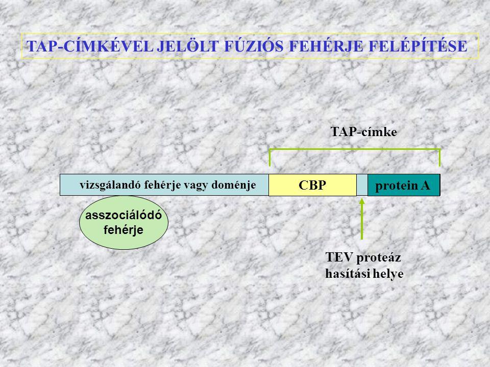 TAP-CÍMKÉVEL JELÖLT FÚZIÓS FEHÉRJE FELÉPÍTÉSE protein ACBP vizsgálandó fehérje vagy doménje TAP-címke TEV proteáz hasítási helye asszociálódó fehérje