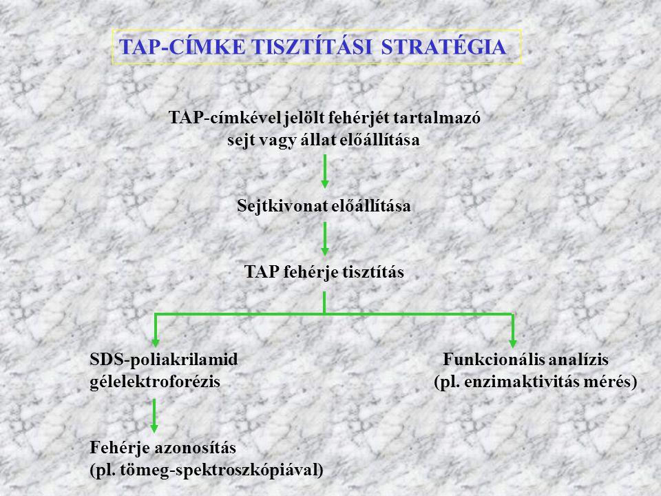 TAP-CÍMKE TISZTÍTÁSI STRATÉGIA TAP-címkével jelölt fehérjét tartalmazó sejt vagy állat előállítása Sejtkivonat előállítása TAP fehérje tisztítás SDS-p