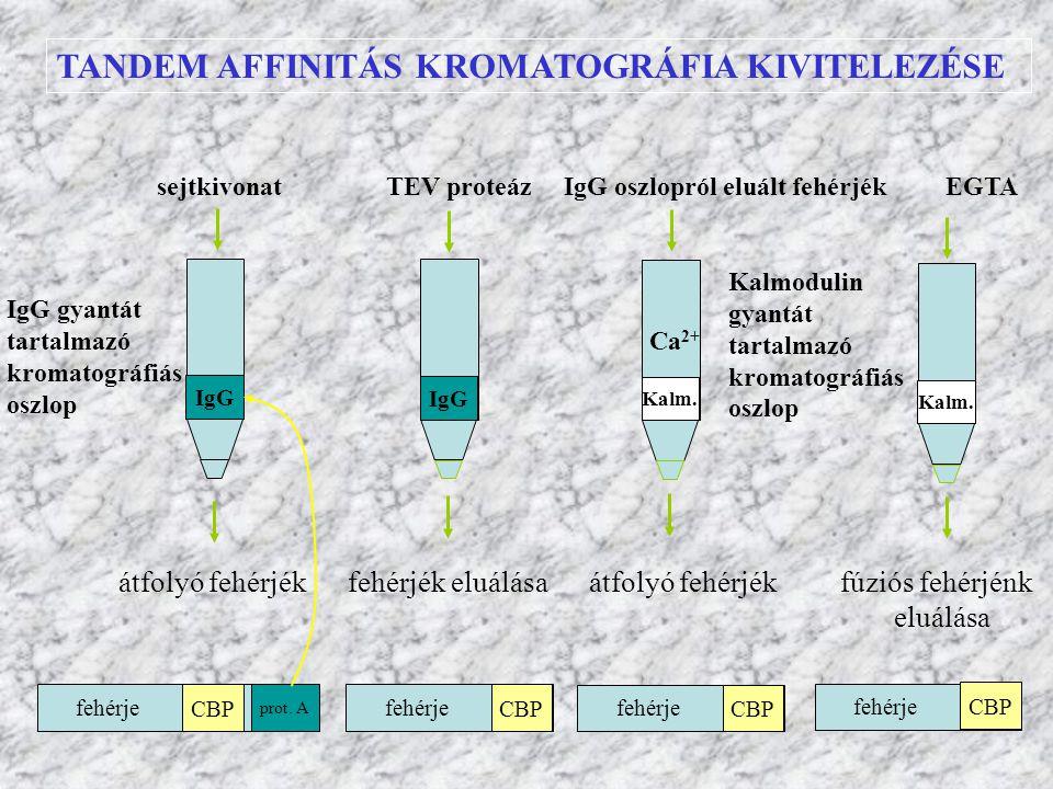 TANDEM AFFINITÁS KROMATOGRÁFIA KIVITELEZÉSE IgG gyantát tartalmazó kromatográfiás oszlop IgG sejtkivonat TEV proteáz IgG oszlopról eluált fehérjék EGT