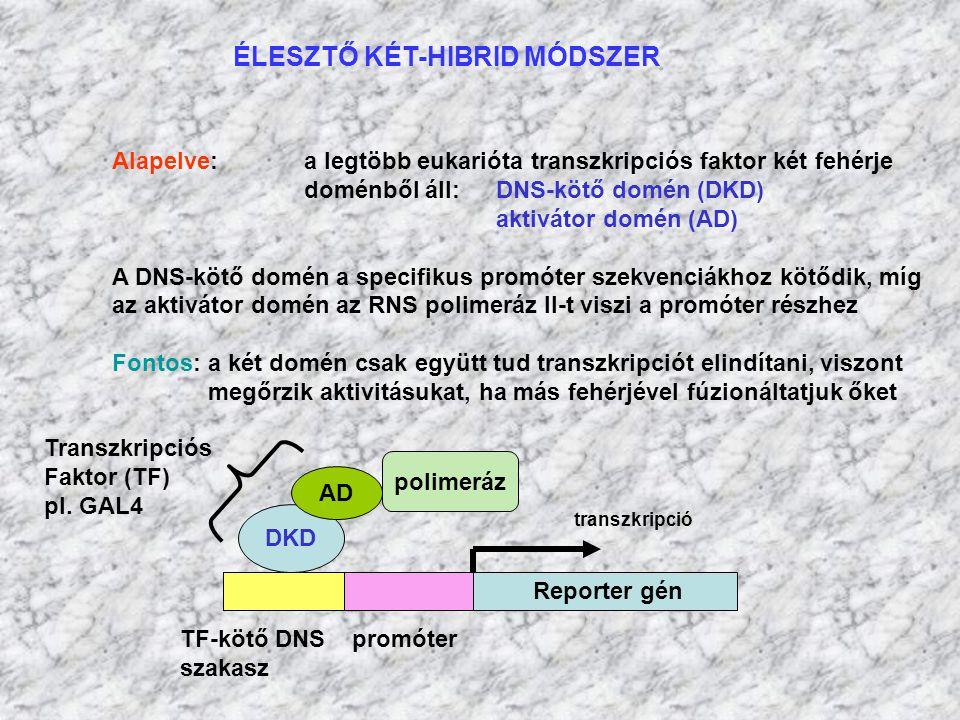 ÉLESZTŐ KÉT-HIBRID MÓDSZER Alapelve: a legtöbb eukarióta transzkripciós faktor két fehérje doménből áll: DNS-kötő domén (DKD) aktivátor domén (AD) A D