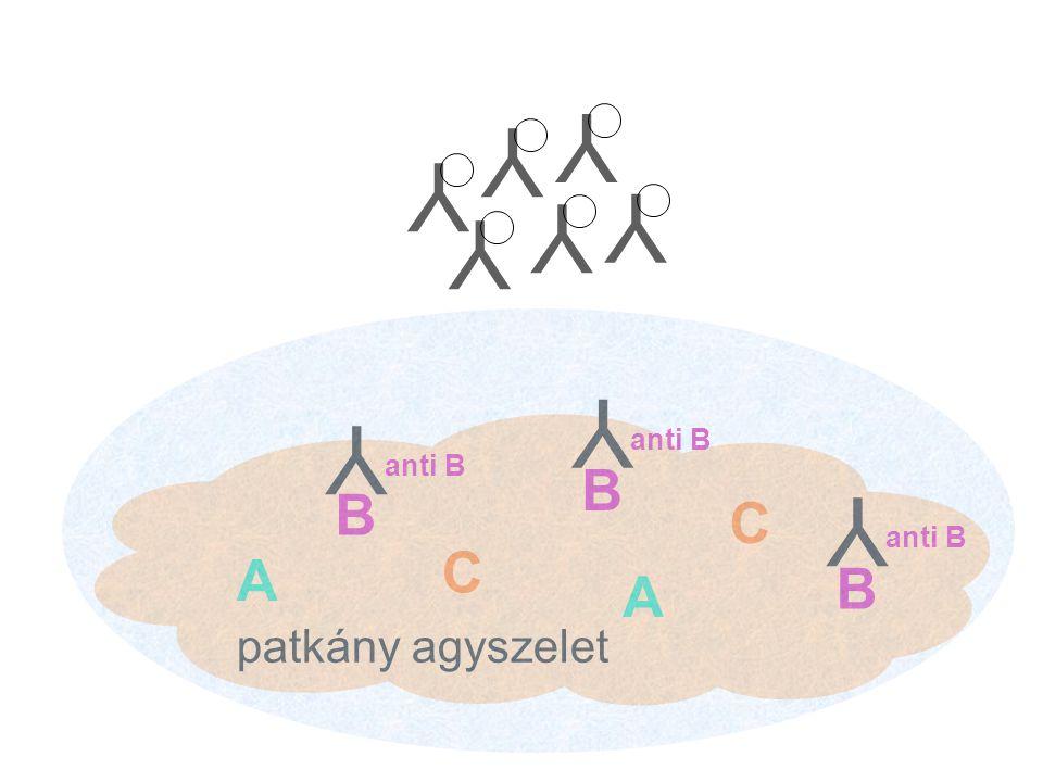 patkány agyszelet A A B B C C B Y anti B Y Y YYYYYY