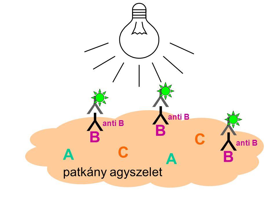 patkány agyszelet A A B B C C B Y anti B Y Y Y Y Y