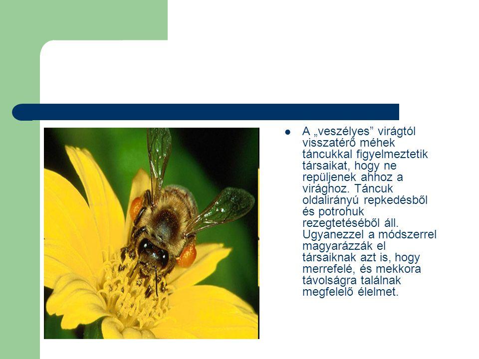 """ A """"veszélyes virágtól visszatérő méhek táncukkal figyelmeztetik társaikat, hogy ne repüljenek ahhoz a virághoz."""