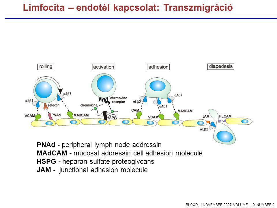 Limfocita – endotél kapcsolat: Transzmigráció PNAd - peripheral lymph node addressin MAdCAM - mucosal addressin cell adhesion molecule HSPG - heparan sulfate proteoglycans JAM - junctional adhesion molecule BLOOD, 1 NOVEMBER 2007 VOLUME 110, NUMBER 9