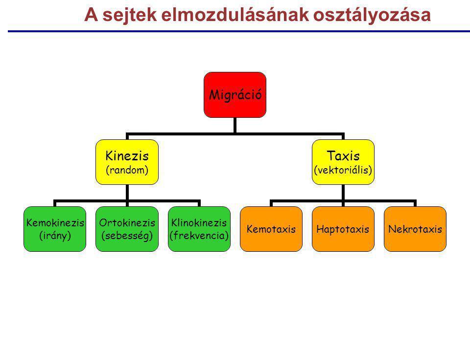Migráció Kinezis (random) Kemokinezis (irány) Ortokinezis (sebesség) Klinokinezis (frekvencia) Taxis (vektoriális) KemotaxisHaptotaxisNekrotaxis A sej