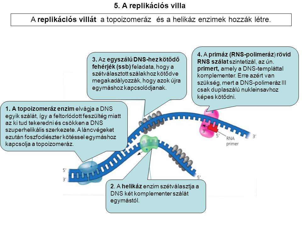 1. A topoizomeráz enzim elvágja a DNS egyik szálát, így a feltorlódott feszültég miatt az ki tud tekeredni és csökken a DNS szuperhelikális szerkezete
