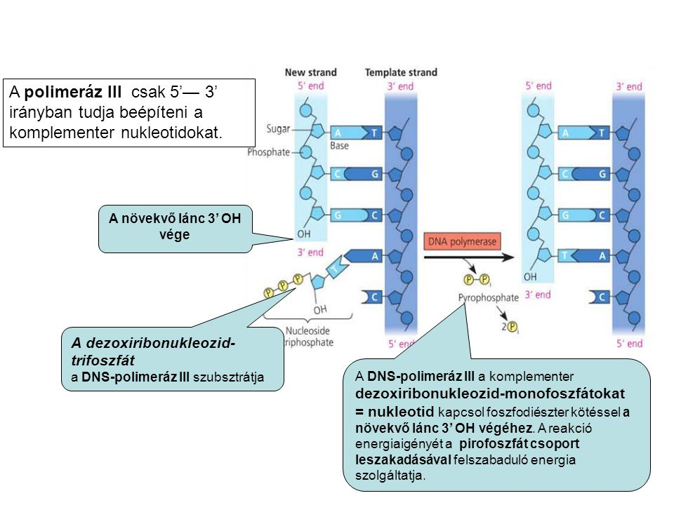 A DNS-polimeráz III a komplementer dezoxiribonukleozid-monofoszfátokat = nukleotid kapcsol foszfodiészter kötéssel a növekvő lánc 3' OH végéhez.